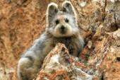 Reaparece un pequeño mamífero desconocido con cara de oso de peluche