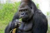 Shabani: El gorila que roba suspiros a jovencitas japonesas (+Fotos)