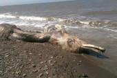 Rusia: extraña criatura marina desconcierta a científicos (+Video)