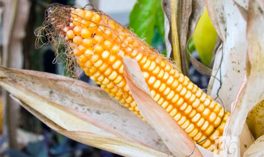 maíz transgénico